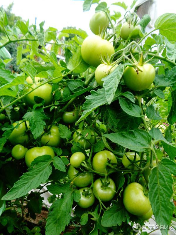 помидоры катя отзывы фото конце рабочего